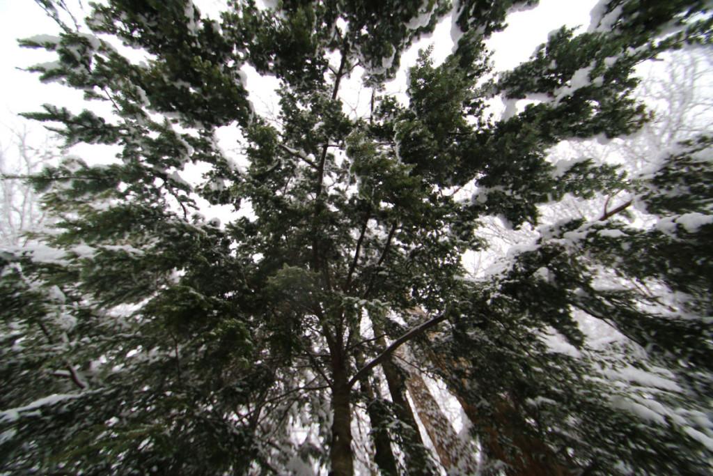 Hemlock tree